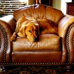 Golden Retriever laying on Brown Leather Lounge Chair
